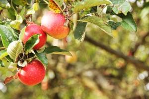 Apfel Törtchen